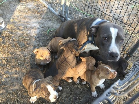 American Bully Puppy For Sale In Mayo Fl Adn 62444 On Puppyfinder Com Gender Male Age 8 Weeks Old American Bully Puppies For Sale Puppies