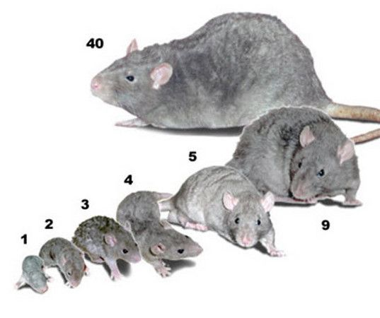 This Image Shows The Sizes Of Rats The Numbers Indicate