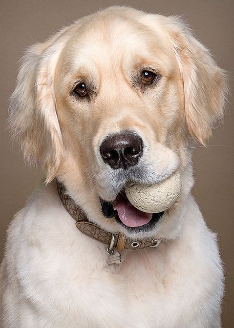 Golden Retriever wants you to throw it