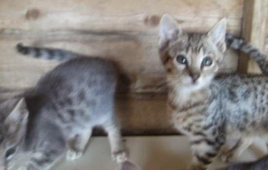 Stunning F4 Savannah Kitten Ready With Images Savannah Kitten