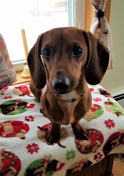 Tanner 4 In Vt Weenie Dogs Doxie Dogs Weiner Dog