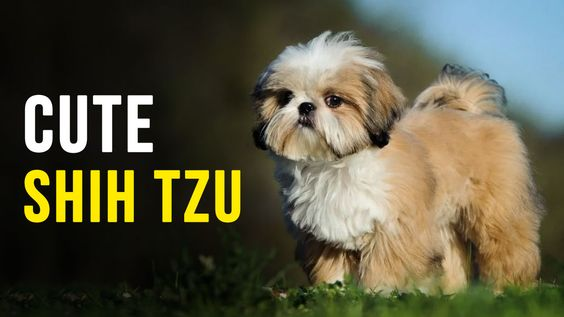 Best Shih Tzu Videos Cute Shih Tzu Videos In 2020 Shih Tzu Puppy Baby Shih Tzu Shih Tzu Training