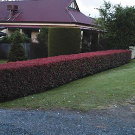 ideas for hedges Photinia hedge Trimmed 03 Garden Hedges Ideas