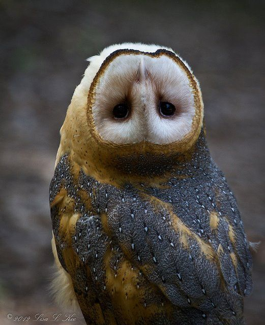 """Photographer Lisa L. Kee won a competition with this photo, and remarked about it, """"This little Barn Owl is at my local """"World Bird Sanctuary"""" located in Missouri. Her name is Minerva. She was so interested in my camera that she was turning her head back and forth and then just flipped it upside down! I had no idea an owl could do that!"""""""