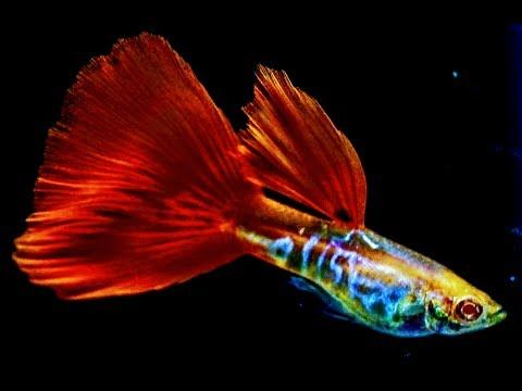 Top 5 Questions About Guppy Fish 54 Beautiful Collection Fish Guppies Fish Freshwater Fish Aquarium Fish Tank Aquariums 54 Guppy Fish Oranda Goldfish Guppy