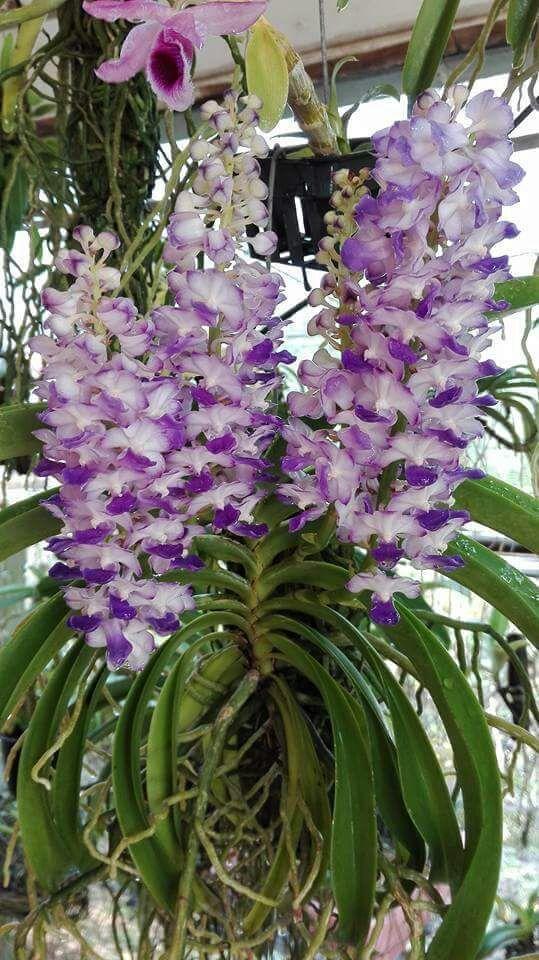 Rhynchostylis Coelestis Blue Klairvoyant Orchids Orchids Orchids Oncidium Plants