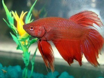 Quais as principais espécies de peixes para aquário de água doce?