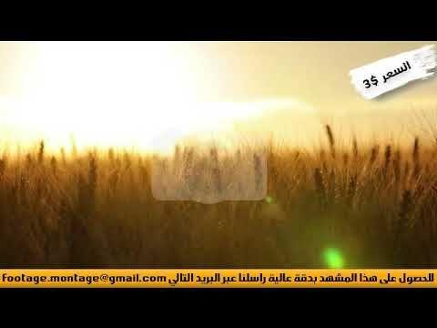 مشهد بديع لسنابل القمح يتخللها شعاع الشمس لأعمال المونتاج 842344 Alc