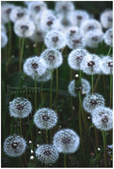 All White Flowers Are Beautiful And With Meanings Of Their Own So Which Do You Prefer Beautiful White Flowers Ty Dandelion Flower Dandelion Dandelion Art