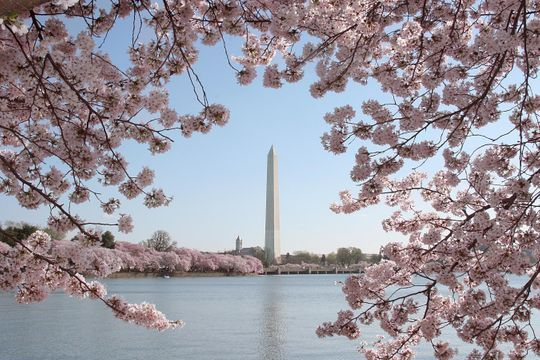 7 Ways You Can See And Celebrate Washington D C S Cherry Blossoms Cherry Blossom Festival Flower Festival Amazing Flowers