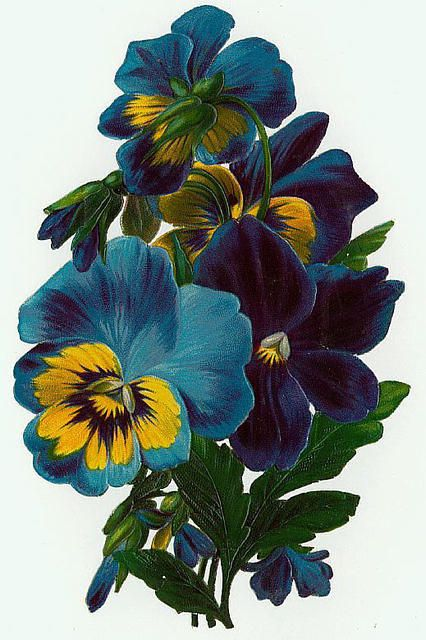 blue pansies: