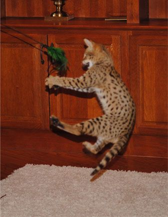 F1 Savannahs F2 Savannah Cats F3 Kittens F4 Cat Breeder | Majestic Savannahs