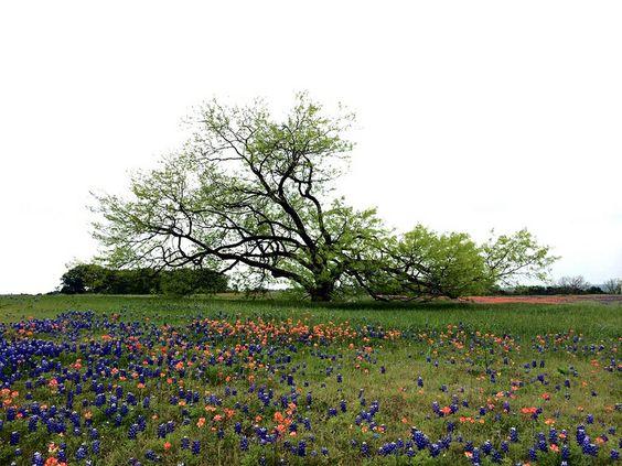 Mesquite Tree next to Texas Bluebonnets - Ennis Texas - Sugar Ridge Drive
