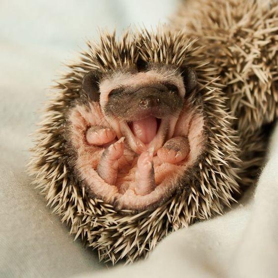Precious happy baby hedgie !!: