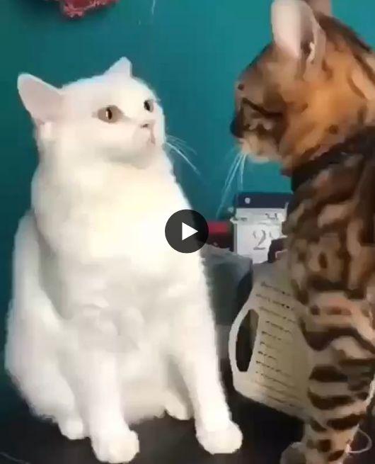 Esses dois gatinho está tentando se acertar.