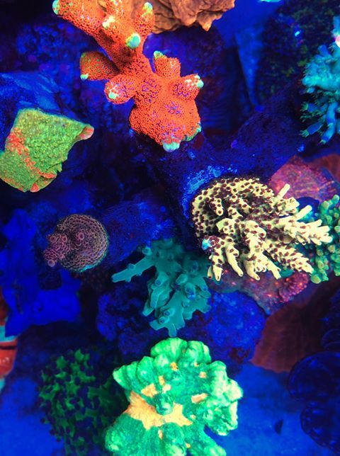 Most Colorful Corals For A Saltwater Tank2 Reef Tank Coral Led Lights