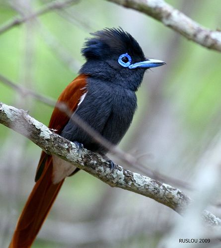 African Paradise Flycatcher (Terpsiphone viridis) is an impressive little songbird, both visually & acoustically. Male plumage is usually a combination of smoky grey & a rich tawny chestnut, although color morphs do occur, and the cascading tail feathers measure almost three times the length of the bird's body.
