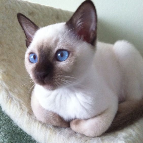 ☆ RobsGirlJal @ Pinterest ☆ Tonkinese my dream cat!
