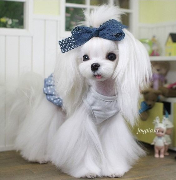 35 Cutest Maltese Haircuts For Your Little Puppy Hairstylecamp Maltese Dogs Haircuts Maltese Haircut Maltese Puppy