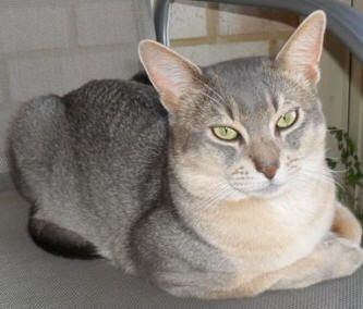 Cats, Abyssinian and Silver on Pinterest