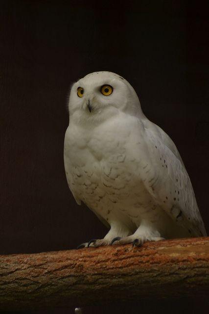 Source: Flickr / paul_woolley_75  #snowy owl #owl