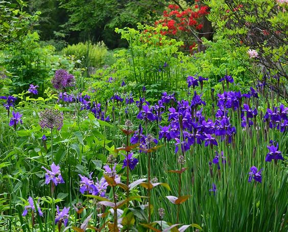alliums and grasses - Google Search
