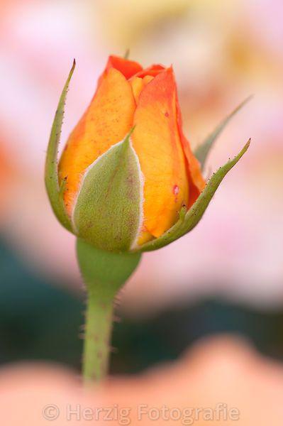 """Rosa """"Westzeit"""" - Rose"""