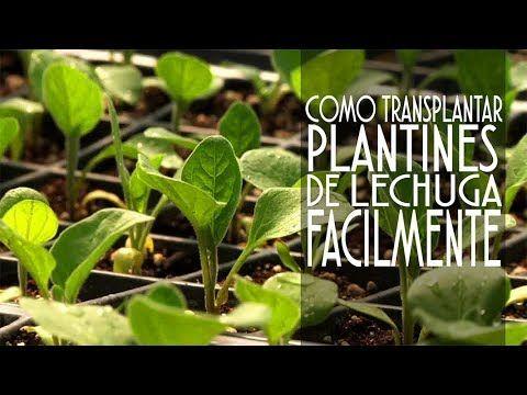 Como Transplantar Plantines De Lechuga Facil Y En Pocos Pasos Youtube Lechuga Huerto Urbano Huerta