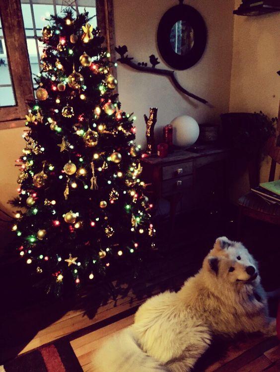 Nuestro Samoyedo en Navidad