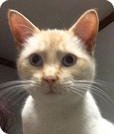 Pictures of Humphrey a Domestic Shorthair for adoption in Okmulgee, OK who needs a loving home.