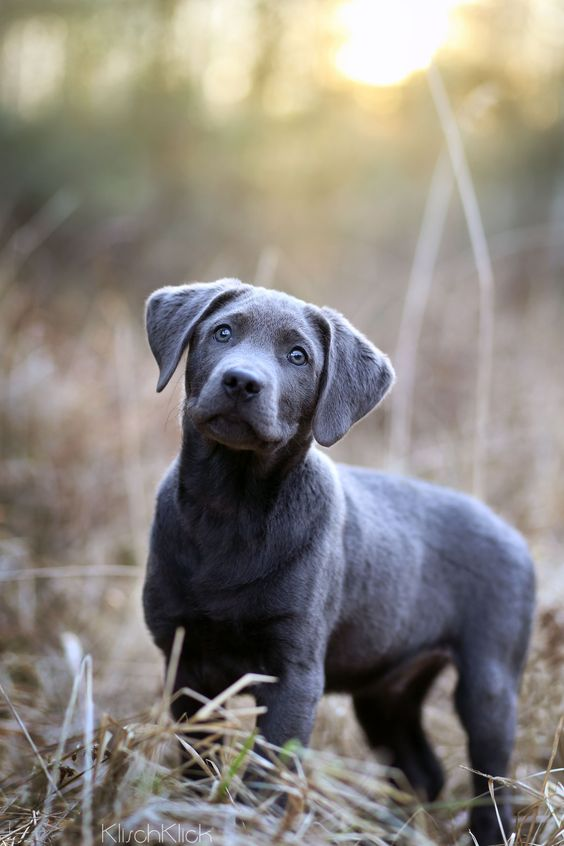 Are you talking to me? silver labrador puppy