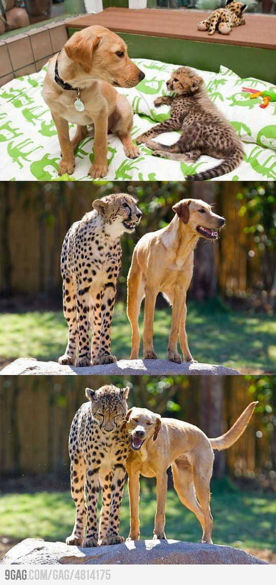 They're best buds! So sweet! #dog #cheetah