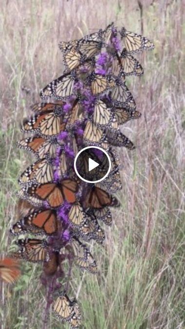 Uma árvore cheia de borboletas.