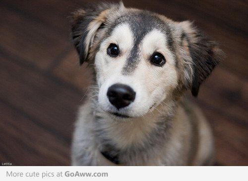 Look at his pleading eyes! This adorable young Husky-Reteiever mix - well, I'll give him whatever he is asking for!