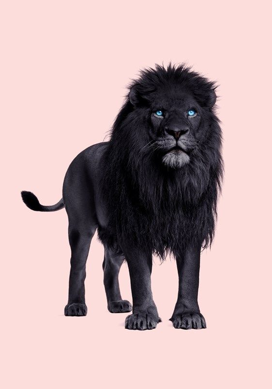 Black Lion Black Lion Lion Art Lion Background