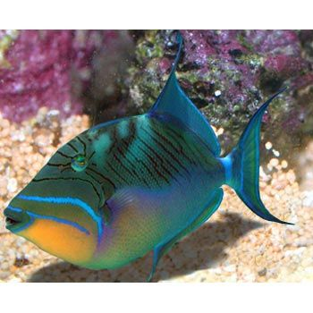 Queen trigger salt water fish pinterest queen for Saltwater aquarium fish for sale