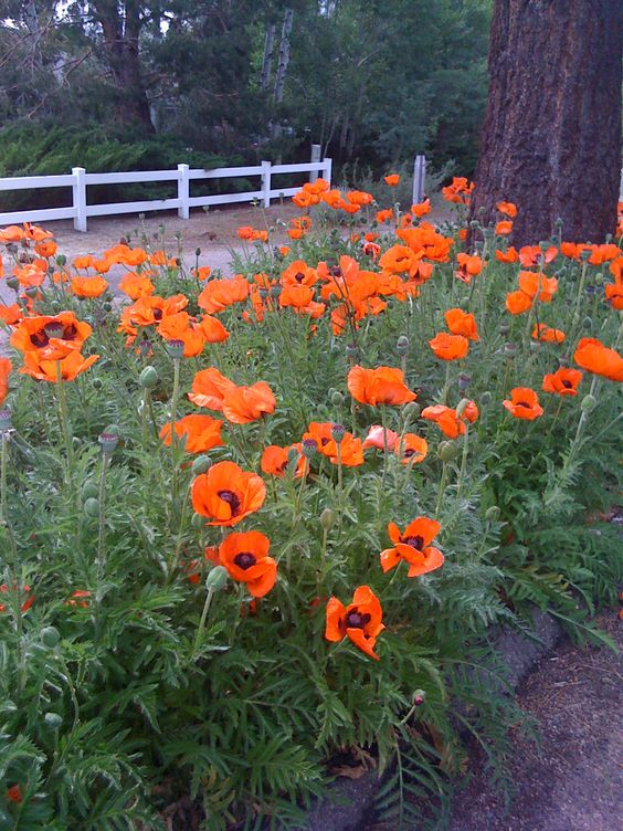 Poppies...Poppies..Poppies