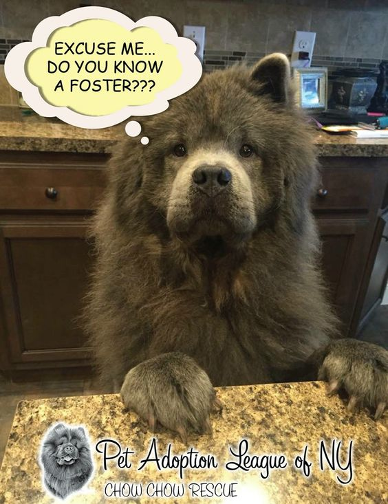 Pet Adoption League Of Ny Chow Chow Rescue To Foster Please Email