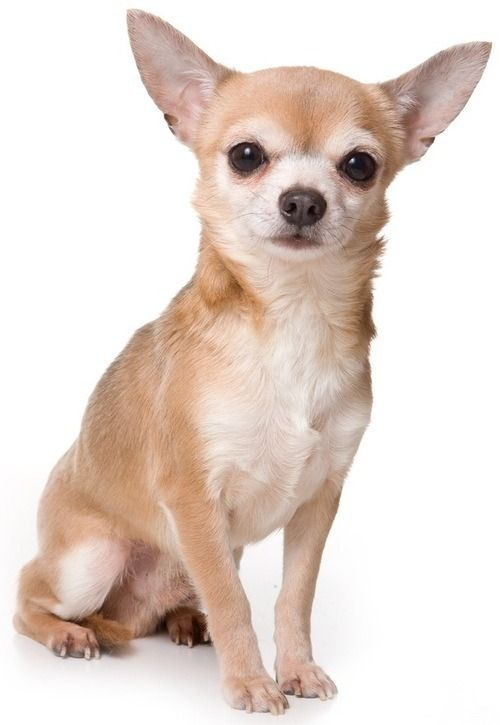 What S An Asthma Hound Chihuahua Chihuahua Puppies Dog Breeds Chihuahua