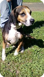 Tampa, FL - Beagle/Foxhound Mix. Meet Calypso, a dog for adoption. http://www.adoptapet.com/pet/15170056-tampa-florida-beagle-mix