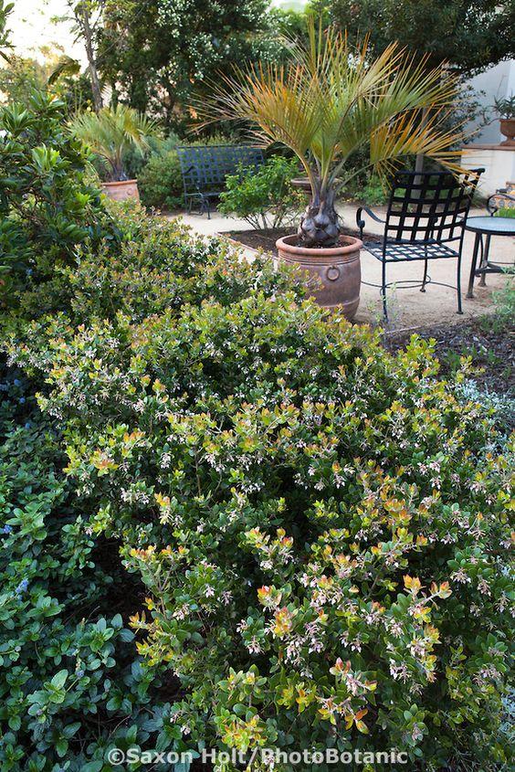 Manzanita Hedge Arctostaphylos In Drought Tolerant Southern California Native Plant Garden