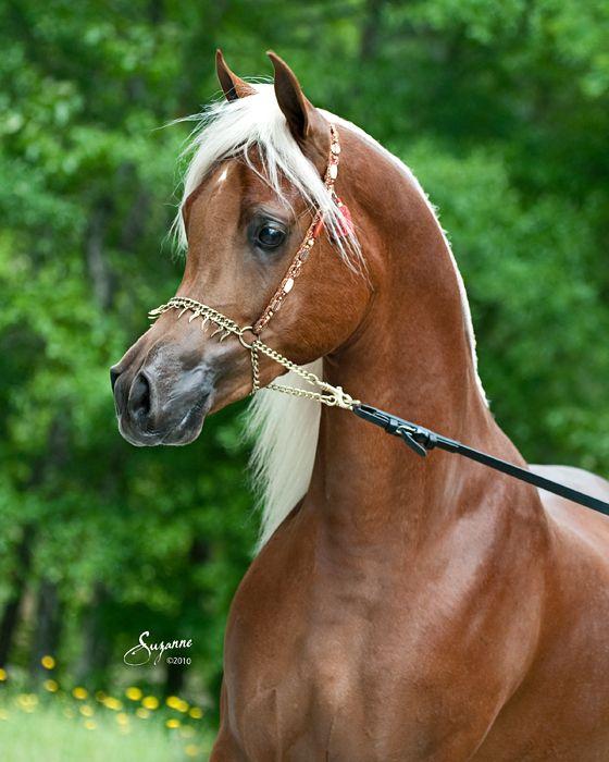 Talaria Farms - Golden chestnut Arabian Horse with flaxen ...