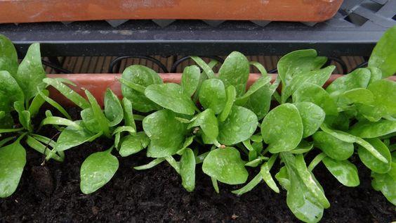 Spinat im Balkonkasten ist schon nach 2-3 Wochen erntefertig!!! Wir sind gerade bei der 3. Aussaat und er schmeckt erntefrisch als Salat einfach immer wieder besonders gut!