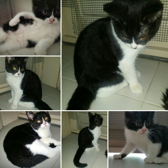 +65 9134-0934 Female American Shorthair Kittens born on 25 May 2016  (Mixed Breed - Paternal Pure American Shorthair)  Adoption Fee $350 *with Vaccination  My attention-seeking, friendly and hyperactive kittens are litter box trained and started on dry food PRONATURE HOLISTIC KITTEN. Variety Wet Food Options given once or twice daily. Smart, fast & easy to train/discipline (for instance areas that are restricted..)