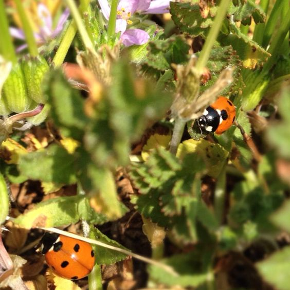 Not one but two ladybugs