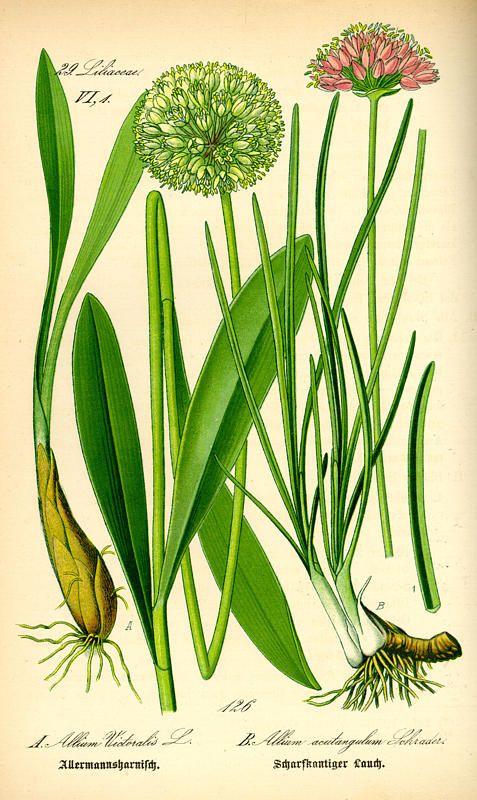"""Allium victoralis (Alpine Leek, Victory onion). From Prof. Dr. Otto Wilhelm Thomé """"Flora von Deutschland, Österreich und der Schweiz,"""" 1885, Gera, Germany"""