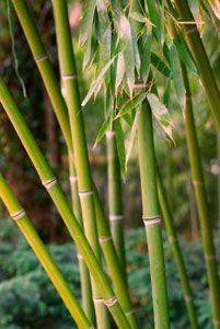 Golden Goddess Bamboo Plant - Running Bamboo Plants | Clumping Bamboo Plants - Willis Orchard Company
