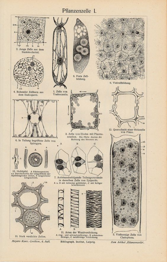 1898 Original Antique Lithograph Print Meyers Plant Cell Pflanzenzelle КЛЕТКА | eBay