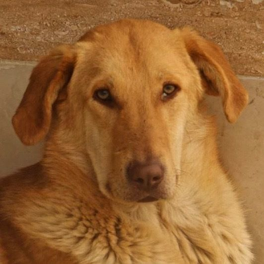 Adopt Benny On Rescue Dogs Dogs Golden Retriever Mix