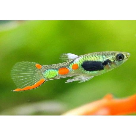 Guppy endler s green neon m le poecilia wingei for Endler guppy